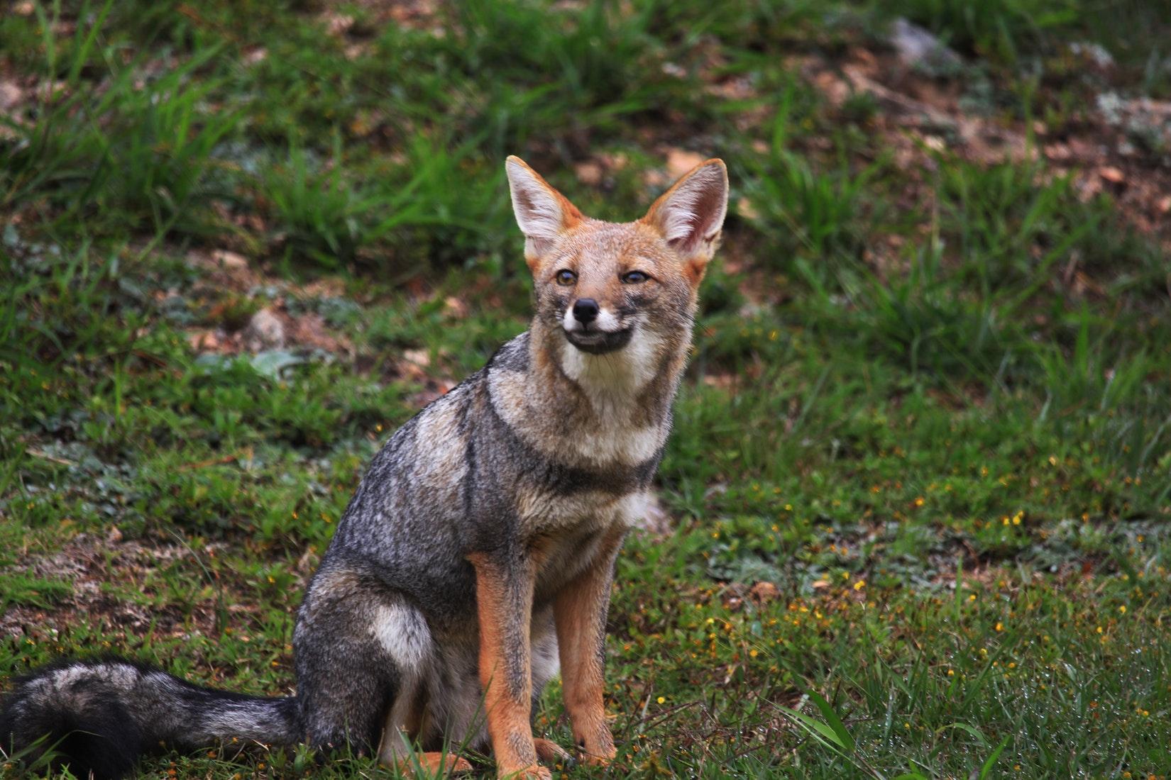 A dark furred fox in Argentine