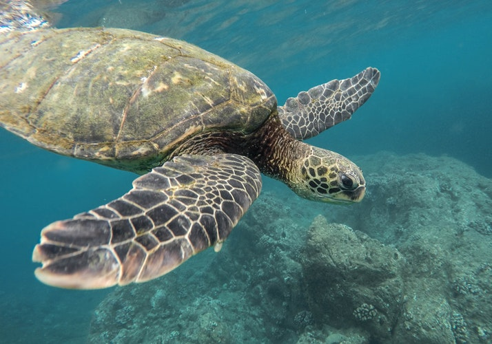 Tortoise swimming near a coral reef