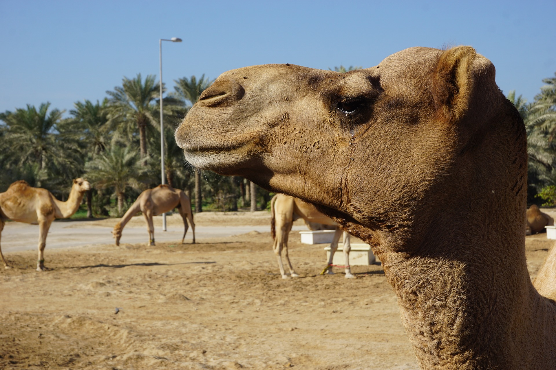 Close up picture of camels head with 3 camels and palm trees in the background